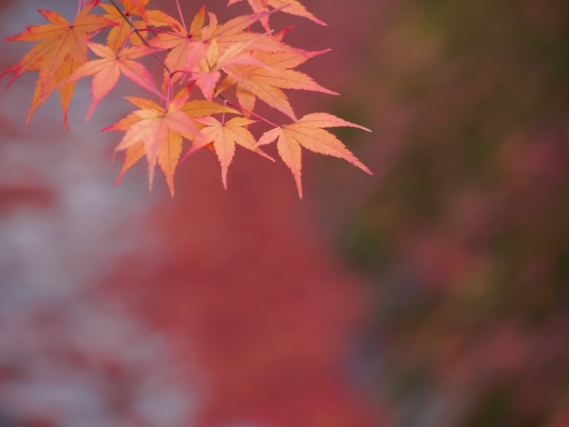 Soft focus of red maple leaves on blur red leaves in the autumn background Premium Photo