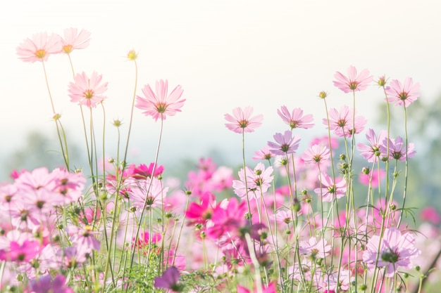 Soft, selective focus of cosmos, blurry flower for background, colorful plants Premium Photo