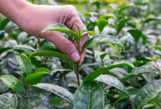 Soft tea plantation Premium Photo