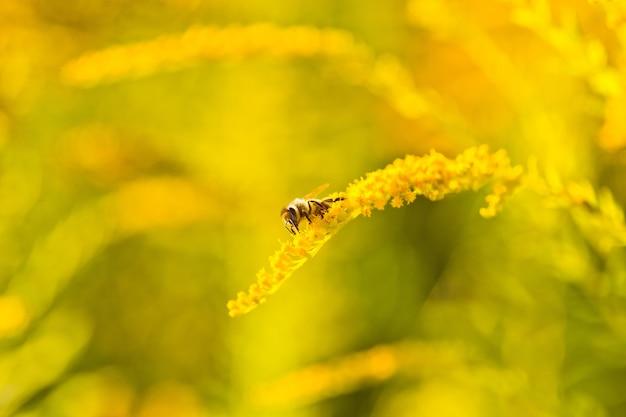 Солидаго, золотисто-желтые цветы летом Premium Фотографии