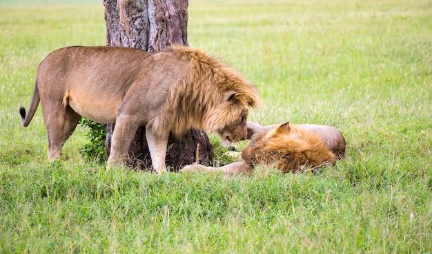 Некоторые большие львы демонстрируют друг другу свои эмоции в саванне кении. Premium Фотографии