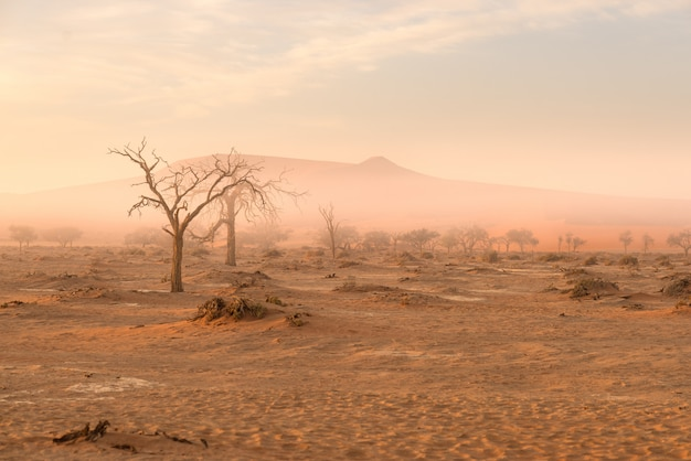 Sossusvlei, namibia. acacia tree and sand dunes in morning light, mist and fog. Premium Photo