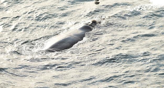 Balena franca australe che riposa in superficie del mare, a hermanus, in sudafrica Foto Gratuite