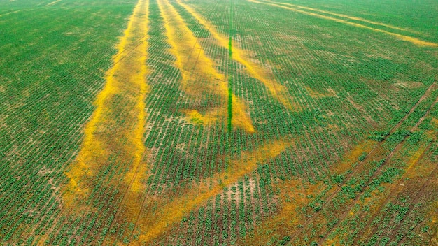 Soybean crops are damaged due to improper application of fertilizers Premium Photo