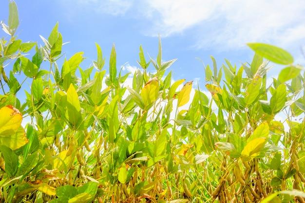 Соевые плантации в бразилии. соевые бобы с стручками Premium Фотографии