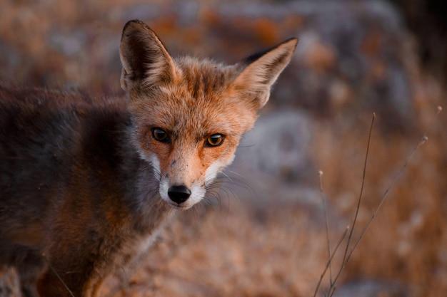 Spanish fox (vulpes vulpes) Premium Photo