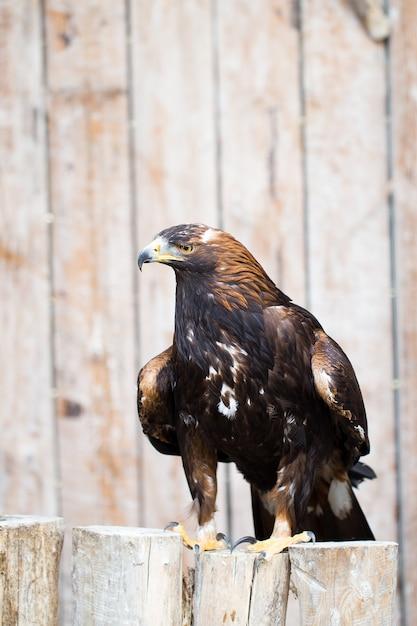 スペイン帝国ワシ-狩猟ワシ。 Premium写真