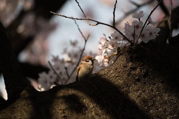 雀鳥と日本サクラ桜 Premium写真