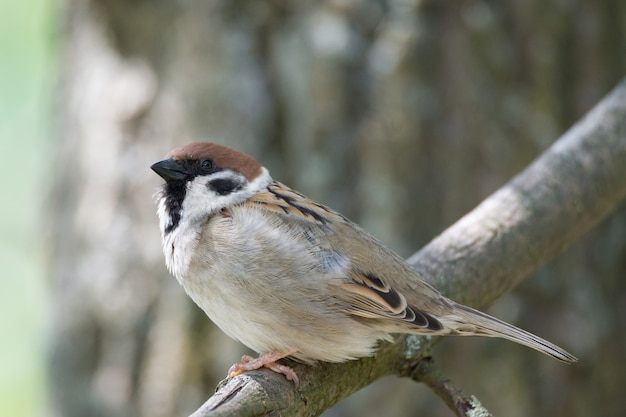 Sparrow on a branch Premium Photo