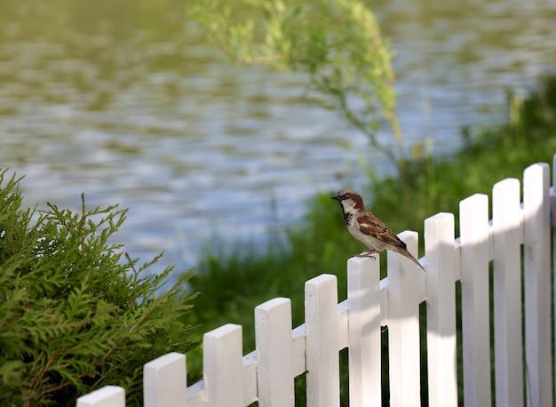 Sparrow arroccato sulla staccionata in legno bianco con un lago sfocato Foto Gratuite