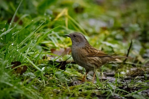 Passero in piedi sul terreno circondato da erba ricoperta di gocce d'acqua con uno sfocato Foto Gratuite