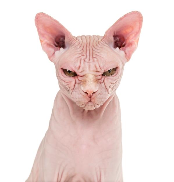 Sphynx hairless cat posing isolated Premium Photo