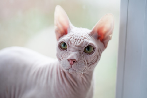 Premium Photo Sphynx Hairless Cat With Green Eyes On A Window