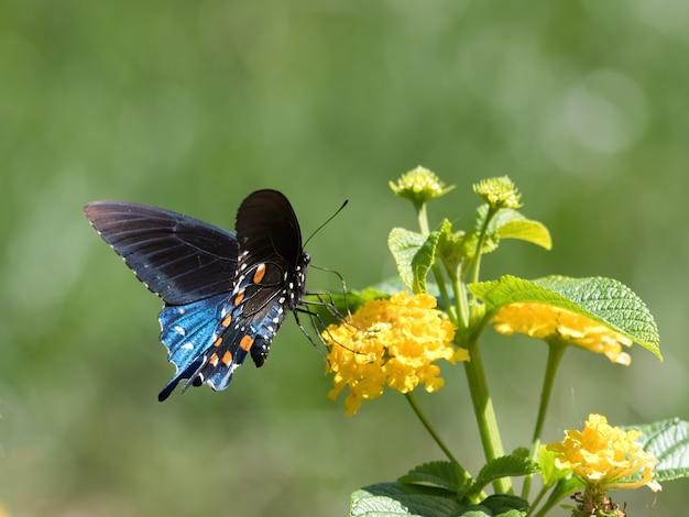 Спайсбуш бабочка махаон сидит на цветке Бесплатные Фотографии