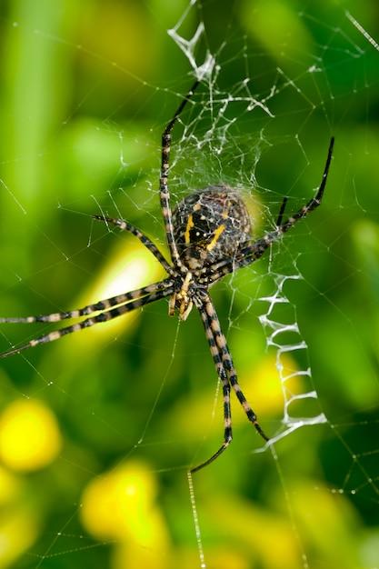 Spider, argiope bruennichi Premium Photo