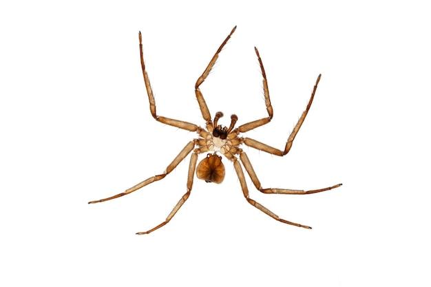 白い背景の脱皮後のクモの外骨格-脱皮 Premium写真