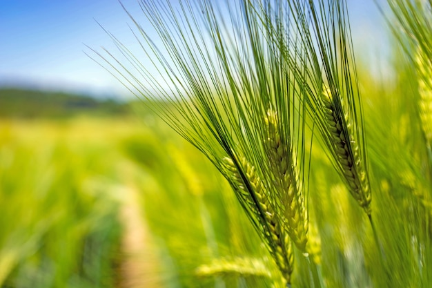 Spikelets of green brewing barley in a field. Premium Photo