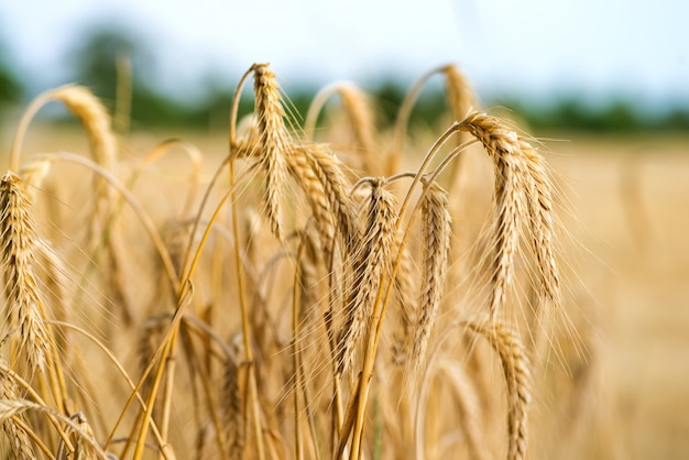 Spikelets of wheat in the sunlight. wheat field Premium Photo