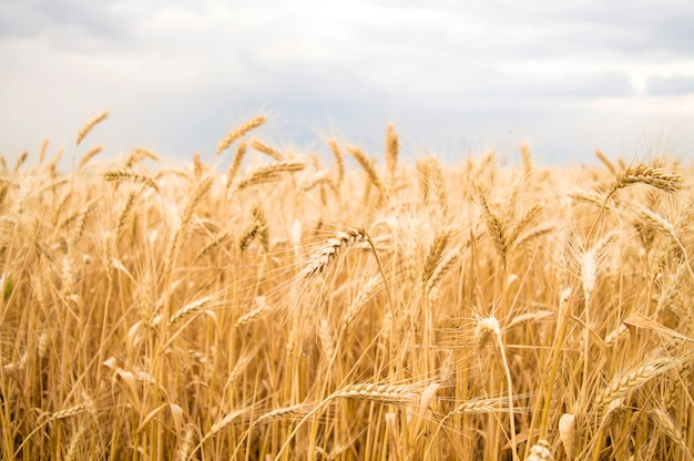Spikelets of yellow wheat against the sky Premium Photo