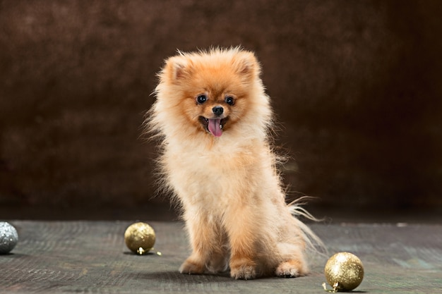 Spitz-dog in studio on a neutral backdrop Free Photo