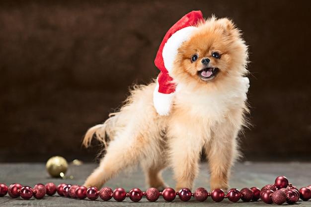 Spitz dog with santa hat Free Photo