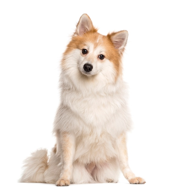 Spitz sitting in front of a white wall Premium Photo