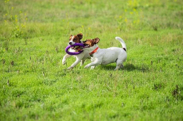 Cane sportivo che si esibisce durante il coursing con esca in competizione. Foto Gratuite