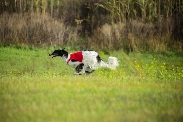 Выступление спортивной собаки во время соревнований по курсингу. Бесплатные Фотографии