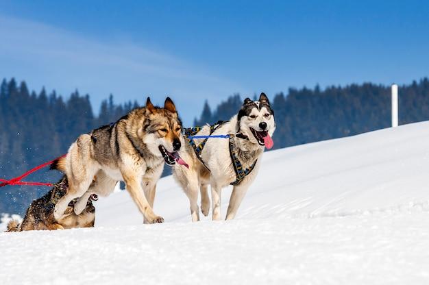 Sportive dogs in a snowy landscape Premium Photo