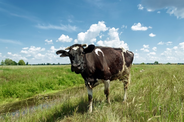 Spotted cow grazing on a beautiful green meadow against a blue sky. Premium Photo