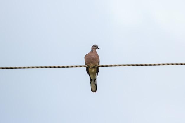 Spotted dove Premium Photo