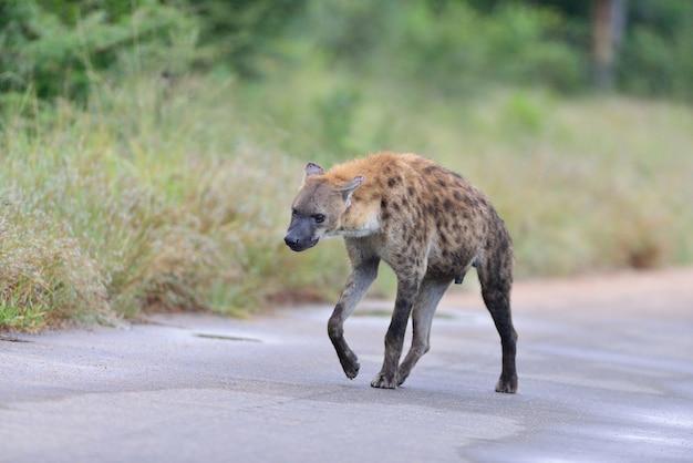 Пятнистая гиена на дороге, окруженной травой Бесплатные Фотографии