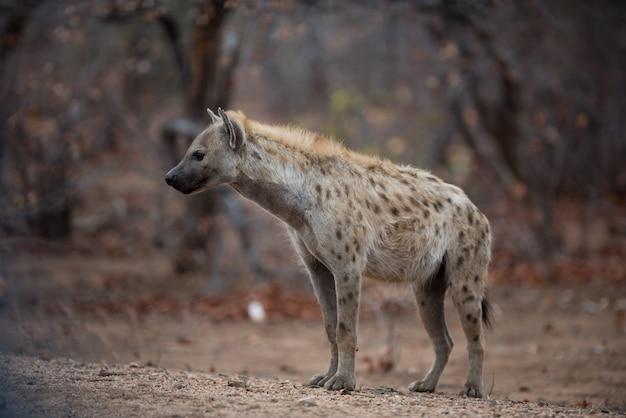 Пятнистая гиена стоит на земле, готовая охотиться на добычу Бесплатные Фотографии