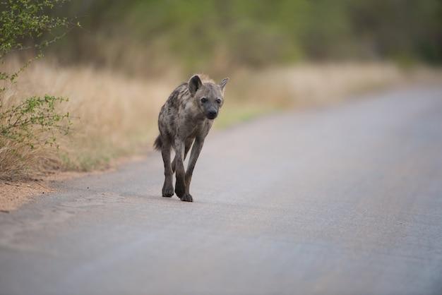 Пятнистая гиена идет по дороге Бесплатные Фотографии