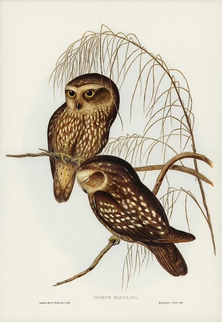 Spotted owl (athene maculate) illustrated by elizabeth gould Free Photo