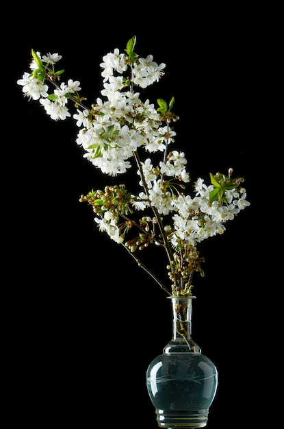 Sprig of blooming white cherry blossoms on black Premium Photo