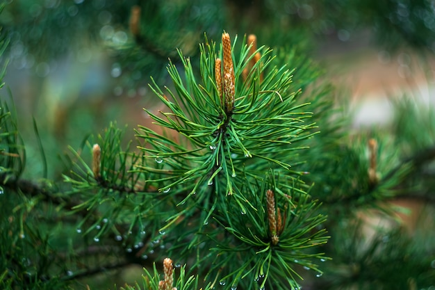 Sprig of pine after rain, conifer, spruce with raindrop. Premium Photo