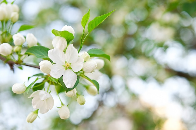 Spring apple blossom with white flowers in the park on a bright sunny day. Premium Photo