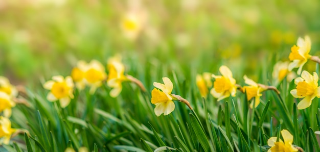 Spring background with yellow flowers. yellow daffodils in green. Premium Photo