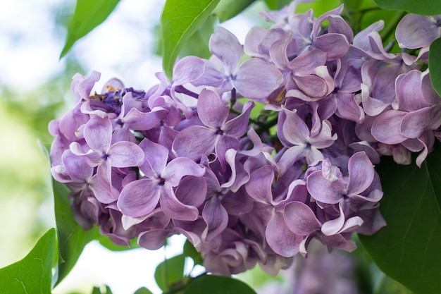 Spring branch of blossoming purple lilac Premium Photo