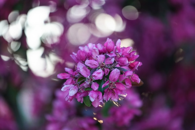 Spring cherry blossoms, pink flowers. Premium Photo