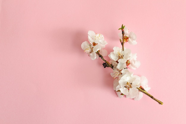 Spring concept. a branch of apricot on a pink background. Premium Photo
