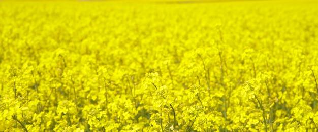 Spring field of fresh rape. Free Photo