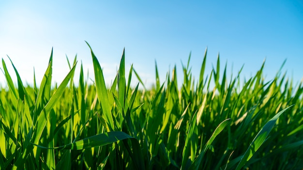 Spring field with green grass against the sky Premium Photo