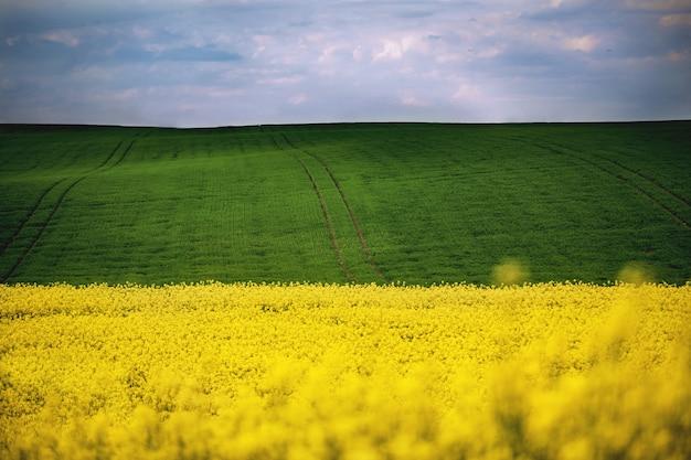 Spring field of yellow rapes flowers, rape. landscapes. Premium Photo