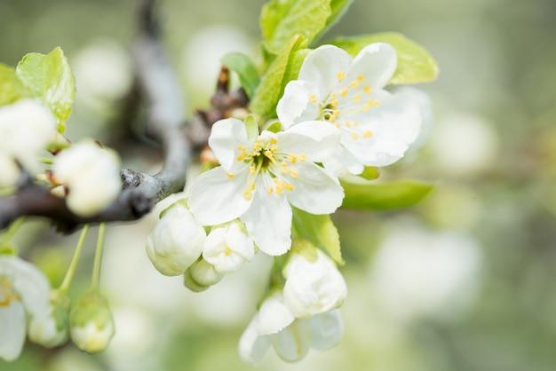 Spring flowering cherry, white flowers close-up Premium Photo