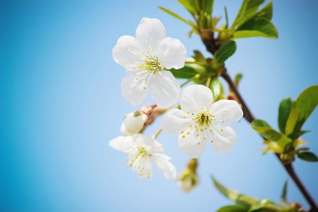 Spring flowering trees. blooming garden. selective focus nature Premium Photo