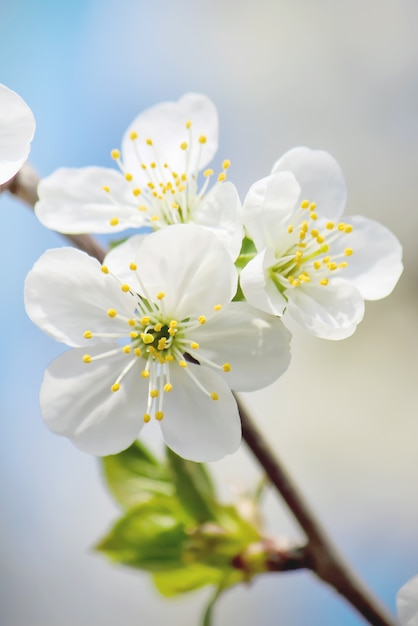Spring flowering trees. blooming garden. selective focus nature Premium Photo