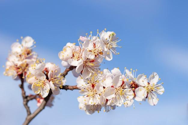 アプリコットの木に春の花が咲く Premium写真