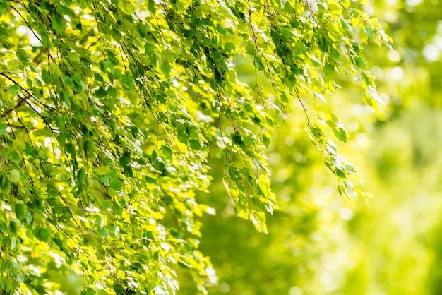 白樺の木の春の緑の葉-壁紙の概念 無料写真